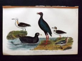 Alexander Wilson 1877 Bird Print. Common Coot, Purple Gallinule
